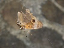 A butterfly trapped in a spider web Stock Photography