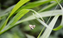 Butterfly trapping on spider web Stock Image