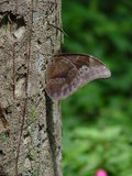 Butterfly on tree. Closeup of camouflaged butterfly resting on tree with green nature background Stock Photo