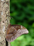 Butterfly on tree. Closeup of camouflaged butterfly on trunk of tree with green background Stock Image