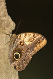 Butterfly on tree bark Stock Image