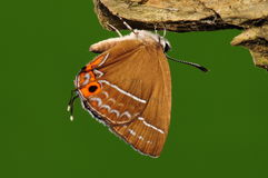 Butterfly on tree/Howarthia/brown Stock Image