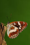Butterfly on tree/ Limenitis sydyi Royalty Free Stock Image