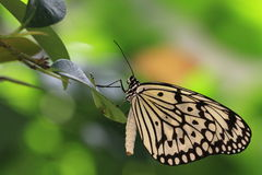Butterfly,Tree Nymphs Royalty Free Stock Photography