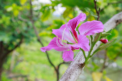 Butterfly Tree, Orchid Tree Stock Photos
