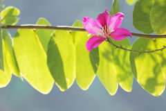 Butterfly Tree, Orchid Tree, Purple Bauhinia Beautiful pink flow Stock Photos