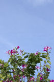 Butterfly Tree, Purple Bauhinia with blue sky Stock Image