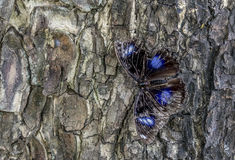 Butterfly on a tree trunk Royalty Free Stock Photo