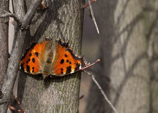Butterfly on tree trunk in forest Royalty Free Stock Photography