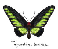 Butterfly Troganoptera Brookina (male). Royalty Free Stock Image