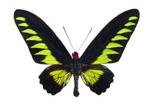Butterfly Trogonoptera Brookiana Stock Image