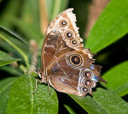 The butterfly tropical. The tropical butterfly on green leaves Stock Photography