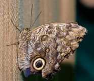 The butterfly tropical. The tropical butterfly, close up Stock Images