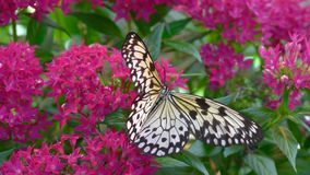 Butterfly and Tropical Flower. Macro Closeup. Black and white speckled butterfly climbs over pink flowers, close-up stock footage