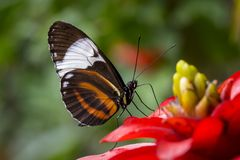 Tropical butterfly on a flower stock photography