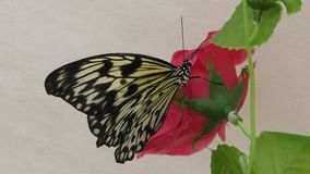 Butterfly from the tropics stock video