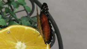 Butterfly from the tropics stock video footage