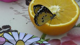 Butterfly from the tropics stock footage