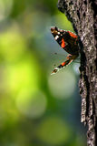 Butterfly on trunk. Colorful butterfly sitting on trunk Stock Image