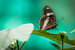 Butterfly on turquoise background. A shot of a butterfly shot against turquoise background Royalty Free Stock Images