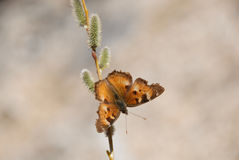 Butterfly on Twig. Along trail in Stanley, Idaho Stock Photos
