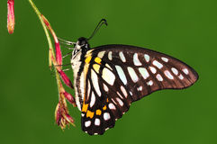 Butterfly on twig, black Royalty Free Stock Photography