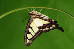 Butterfly on twig/Graphium cloanthus Stock Photo
