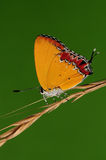 Butterfly on the twig,Heliophorus ila Royalty Free Stock Photos