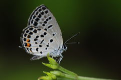 Butterfly on twig at night, Tongeia filicaudis Stock Images