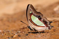 Butterfly on twig/Polyura athamas/drinking water Stock Images