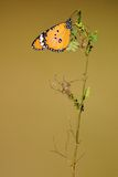 Butterfly on a twig. This butterfly was soaking up the morning sun on a twig Royalty Free Stock Images