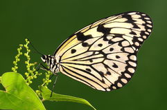Butterfly on twig, white Royalty Free Stock Photos