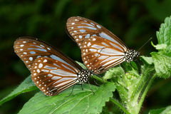 Butterfly in twin Royalty Free Stock Images