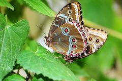 Butterfly: Two Morphos Mating Royalty Free Stock Photography