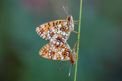Butterfly two one Stock Photos