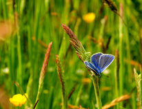 Butterfly. Uk grass yellow green kent garden butterfly spring Royalty Free Stock Photography
