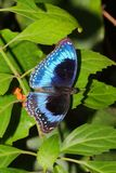Butterfly - Ulysses Butterfly - Papilio ulysses. The Ulysses butterfly is found in most tropical rainforest areas such as Northern Queensland, Northern islands stock images