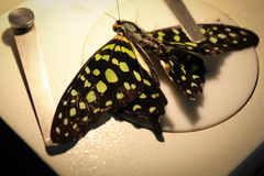 Butterfly under the microscope Royalty Free Stock Photo