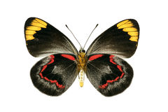 Butterfly underside of Black Jezebel Royalty Free Stock Image