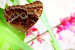 Butterfly underside, Blue Morpho Stock Image
