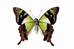 Butterfly underside - Macleays Swallowtail Royalty Free Stock Photo