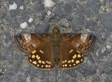 A butterfly unfolded wings. This butterfly which is lying on the stone called Erynnis montanus stock photography