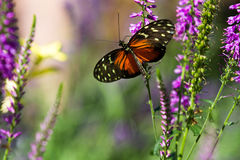 Butterfly up against some purple flowers. Shallow depth of field shot of a butterfly in some purple flowers Stock Photo