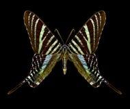 Butterfly Urania boisduvalii royalty free stock images