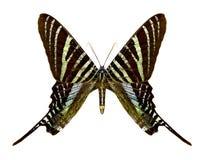 Butterfly Urania boisduvalii royalty free stock photos
