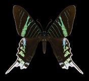 Butterfly Urania leilus stock photos