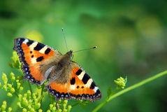 Butterfly urticaria. On the background of green grass Royalty Free Stock Photography