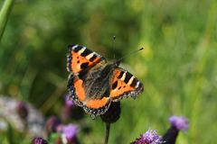 Butterfly urticaria Aglais urticae on a meadow flower stock photo