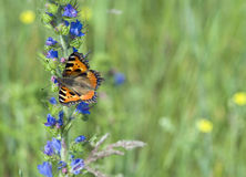 Butterfly urticaria. On the blue flower Royalty Free Stock Photography