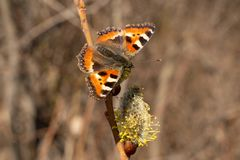 Butterfly.  Urticaria. Butterfly closeup on a flower. Urticaria. Blooming willow in spring stock photography
